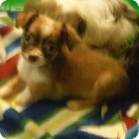 Adopt A Pet :: Bing - Manchester, NH