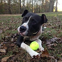 American Pit Bull Terrier Mix Dog for adoption in Fulton, Missouri - Aspen-Alabama