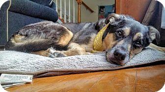 German Shepherd Dog Mix Dog for adoption in Greensboro, North Carolina - Molly(CL)