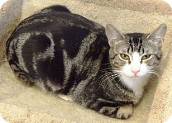 Domestic Shorthair Cat for adoption in Dunkirk, New York - Bing