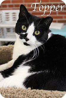 Domestic Shorthair Cat for adoption in Bradenton, Florida - Topper