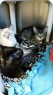 Domestic Shorthair Kitten for adoption in Chippewa Falls, Wisconsin - Darby