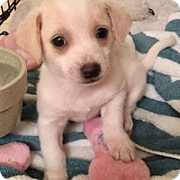 Adopt A Pet :: Carlene - Austin, TX