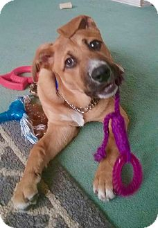 Boxer/Hound (Unknown Type) Mix Puppy for adoption in Smithtown, New York - Alvin
