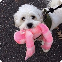 Maltese/Yorkie, Yorkshire Terrier Mix Dog for adoption in Sayville, New York - Fluffy