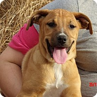 Great Dane/Shepherd (Unknown Type) Mix Puppy for adoption in Williamsport, Maryland - Tacoma (14 lb) Pretty Pup!