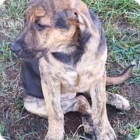 Labrador Retriever/Hound (Unknown Type) Mix Dog for adoption in Rowayton, Connecticut - Louise