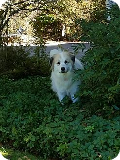 Great Pyrenees Mix Dog for adoption in Bedford Hills, New York - Darcy