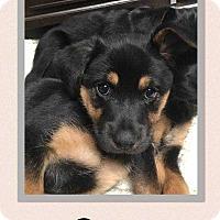 Shepherd (Unknown Type) Mix Puppy for adoption in Allen, Texas - Draco