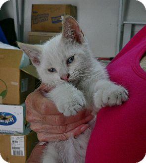 Polydactyl/Hemingway Kitten for adoption in lake elsinore, California - Twinkie n Twitter