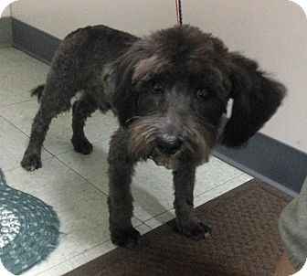 Schnauzer (Miniature)/Terrier (Unknown Type, Small) Mix Dog for adoption in Oceanside, California - Onyx