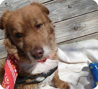 Spaniel (Unknown Type)/Sheltie, Shetland Sheepdog Mix Dog for adoption in Phoenix, Arizona - Kywee