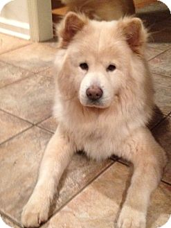 Chow Chow Dog for adoption in Dix Hills, New York - BOBO