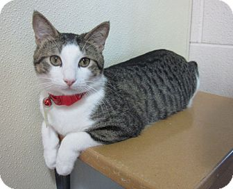 Domestic Shorthair Cat for adoption in Lakewood, Colorado - Bobby