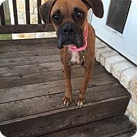 Adopt A Pet :: Violetta - Austin, TX
