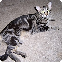 Domestic Shorthair Cat for adoption in Ravenel, South Carolina - Sweet Pea