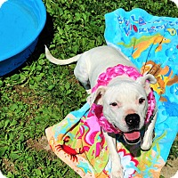 American Pit Bull Terrier Mix Dog for adoption in Ashland, Virginia - Kallie Sue
