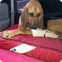 Adopt A Pet :: Katy Ann - Fayetteville, AR