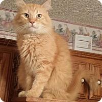 Maine Coon Cat Rescue Dallas Tx