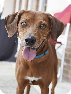Hound (Unknown Type)/Vizsla Mix Dog for adoption in Chattanooga, Tennessee - Rita