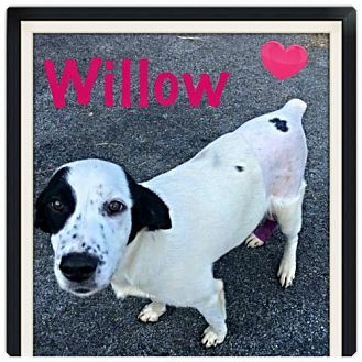 Border Collie Mix Dog for adoption in Windham, New Hampshire - Willow