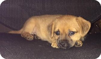 Dachshund Mix Puppy for adoption in Hedgesville, West Virginia - Daizy