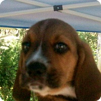 Adopt A Pet :: BERYL - Ventnor City, NJ