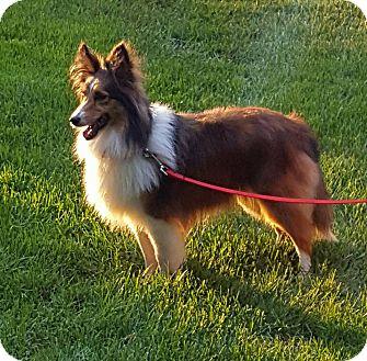 Sheltie, Shetland Sheepdog Dog for adoption in New Castle, Pennsylvania - Diamond