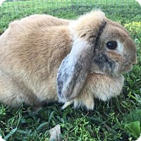 Lop-Eared Mix for adoption in Princeton, Minnesota - Vanilla 'Needs A Foster'