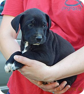 Border Collie/Shepherd (Unknown Type) Mix Puppy for adoption in Burlington, Vermont - Keno (7 lb) Video!
