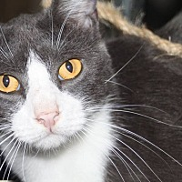 Domestic Shorthair Cat for adoption in Saint Augustine, Florida - SmokeyJoe