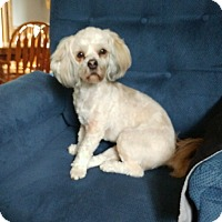 Lhasa Apso Dog for adoption in Cottage Grove, Minnesota - Olaf