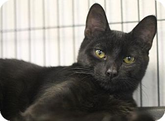 Domestic Shorthair Kitten for adoption in Walla Walla, Washington - Jory