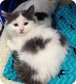Domestic Mediumhair Kitten for adoption in Richmond Hill, Ontario - Diana