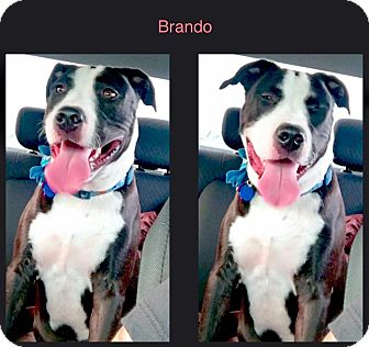 Pit Bull Terrier Mix Dog for adoption in La Habra, California - Brando