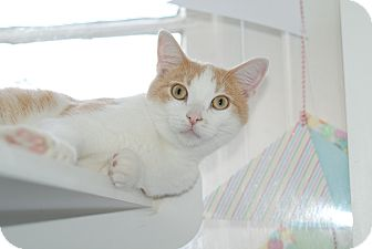 Domestic Shorthair Cat for adoption in Nashville, Tennessee - Benny