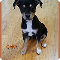 Rat Terrier/Chihuahua Mix Puppy for adoption in Elburn, Illinois - Cider