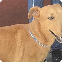 Adopt A Pet :: Daisy - St. Thomas, VI