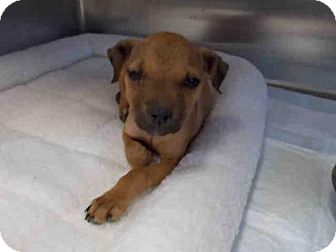 Black Mouth Cur Mix Puppy for adoption in Rosenberg, Texas - A009845