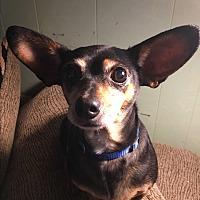 Adopt A Pet :: Shadow - White Settlement, TX