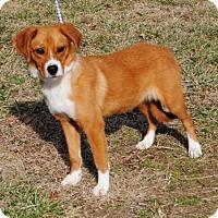 Adopt A Pet :: Ginger - Parsons, KS