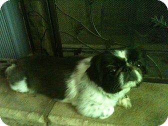 Pekingese Dog for adoption in Winder, Georgia - *Tassie (& Trickey)