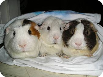 Guinea Pig for adoption in Lucerne Valley, California - Love Love