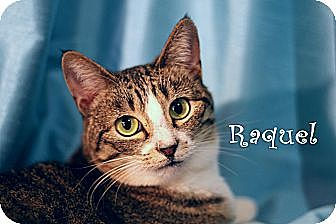 Domestic Shorthair Cat for adoption in Wichita Falls, Texas - Raquel