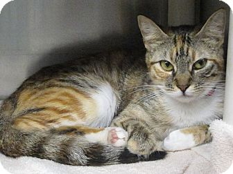 Domestic Shorthair Cat for adoption in Concord, North Carolina - Tressy