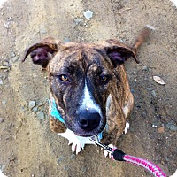 Adopt A Pet :: BRINDLE - Coudersport, PA