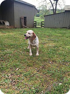 Beagle Dog for adoption in cleveland, Ohio - Poppy
