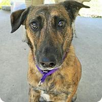 Adopt A Pet :: Cheyenne - Umatilla, FL