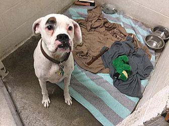 Boxer Dog for adoption in Westminster, Maryland - JJ