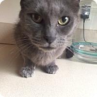 Adopt A Pet :: C2 Litter-Jeannie (Mom) - Livonia, MI
